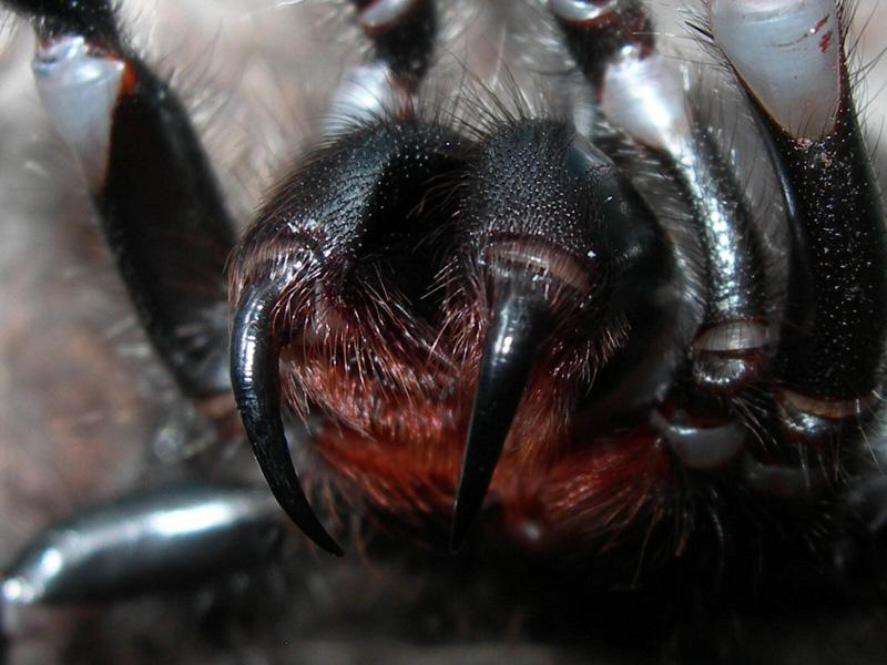 Spider Bites Venomous Spider Bites Dermatology Advisor